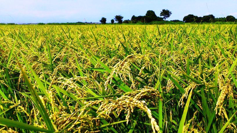 飯山五六  稲作名人の瀬戸山譲一くん。乳酸菌農業の名人