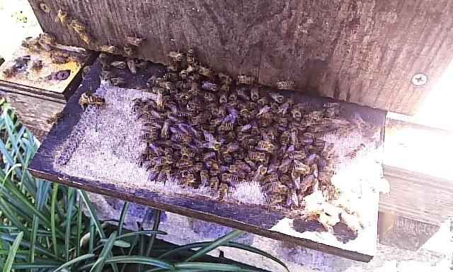 元旦に蜜蜂